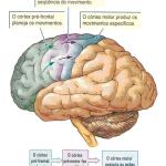 cérebro funções