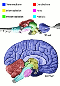 440px-Vertebrate-brain-regions